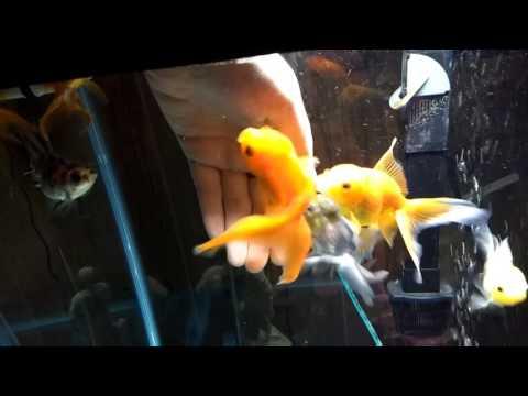 Sleeping Oranda Goldfish