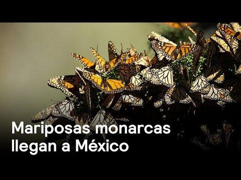 Mariposas monarcas comienzan a llegar a México
