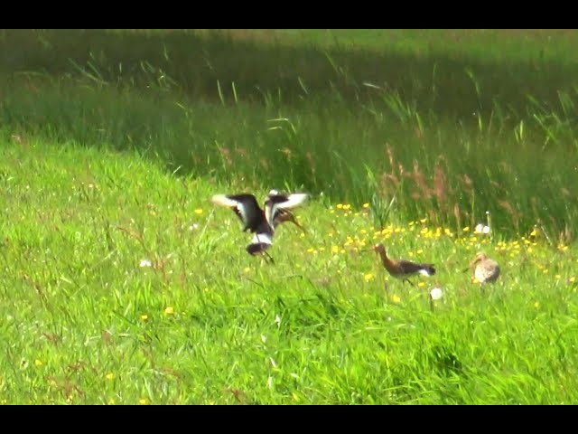 Gouda's glorie herleeft in prachtig weidevogelgebied De Nesse