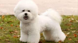 Все породы собак.Бишон фризе (кудрявый бишон) (Bichon Frise)