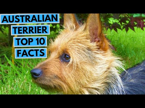 Australian Terrier - TOP 10 Interesting Facts