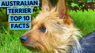Australian Terrier  TOP 10 Interesting Facts