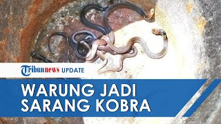 Penjual Mie Ayam Kaget Warungnya Jadi Sarang Ular Kobra