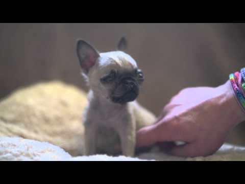 Britain's smallest PUG - less than four inches tall