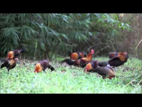 gallos salvajes india