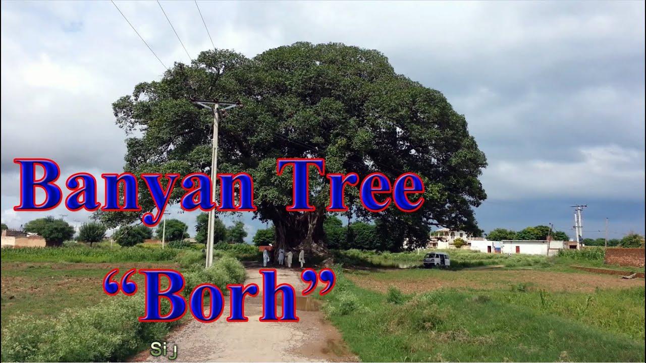 Banyan (Banian), Borh Tree in Punjab Pakistan