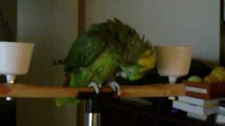 Apple the yellow nape parrot