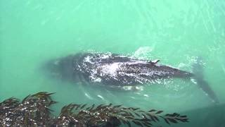 Humpback whale surprises everyone by surfacing next to this California pier