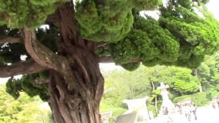 このーきなんのき 気になる木の状態ですね 鎌倉初代将軍源頼朝ゆかりの...