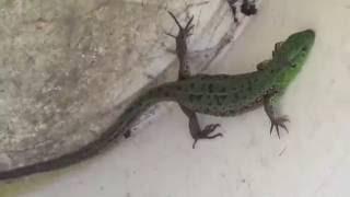 Зеленая ящерица и видео про ящериц