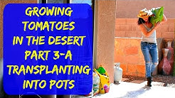 Planting Tomatoes In Containers - Growing Tomatoes In Pots In Arizona
