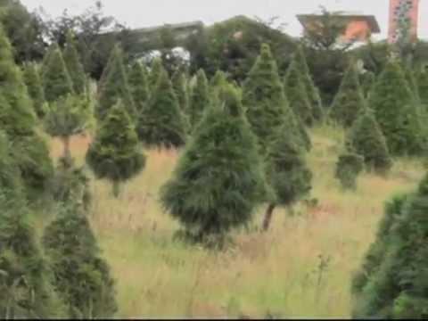 Conoce las especies de pinos en m xico youtube for Variedades de pinos para jardin