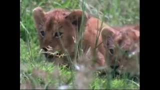 Львиный прайд, видео про диких животных Львы в бешенстве(Львиная охота., 2014-09-06T22:54:14.000Z)