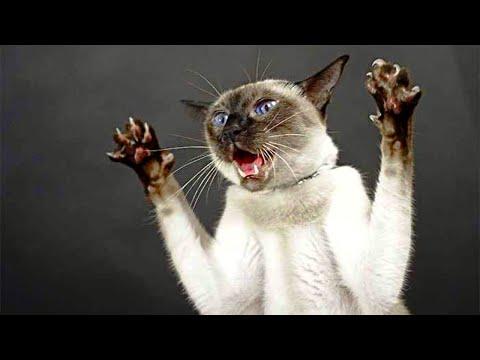 Сиамская кошка, самое злопамятное животное, которое нельзя ругать!