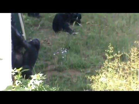 bonobo apes mating video