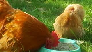 Карликовые кохинхины - палевый окрас, красивейшая птица\Собачка такса Лола