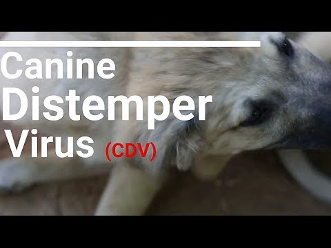 Canine distemper (Dog Rescue Islamabad)