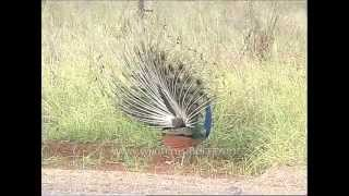 Dispalying for a mate - peacock displaying its feathers