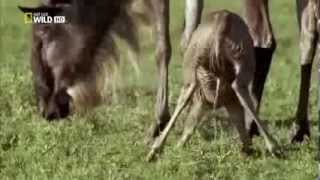 New Born Gnu Antelope saved by lioness : A fairy tale Nat Geo HD