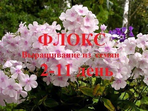Флоксы.  Выращивание из семян.  2 - 11 день (№2).