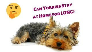 Can Yorkshire Terriers stay Home Alone? Can you Leave your Yorkies Alone at home? | Yorkies 101|