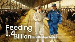 Feeding 1.4 Billion: Inside China's largest dairy farm