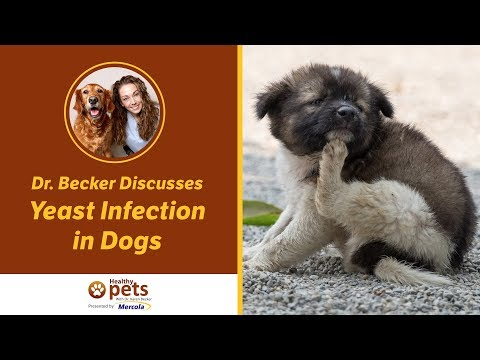 Dr.  Becker Discusses Yeast Infection in Dogs