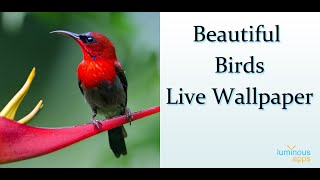 Beautiful Birds Live Wallpaper Android App