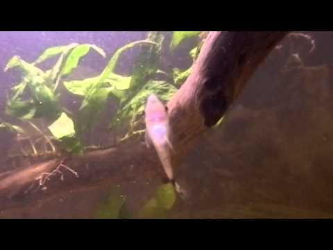 Fish tank question plecos or otocinclus youtube for Fish tank riddle