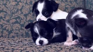 Как выбрать щенка на примере чихуахуа | Чихуахуа Софи(Чихуахуа Софи о том, как выбрать щенка: когти, уши, нос, глаза, кожа, шерсть, зубы, прикус, активность, вес,..., 2014-05-31T07:55:09.000Z)