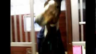 Smart Horse Opens Stall -- Funny! (turn up your volume)