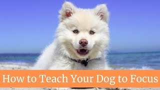How to Teach Your Dog to Focus || How to teach your dog to focus on you