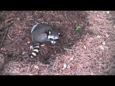 how to catch a coon in a live trap