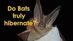 Bat hibernation