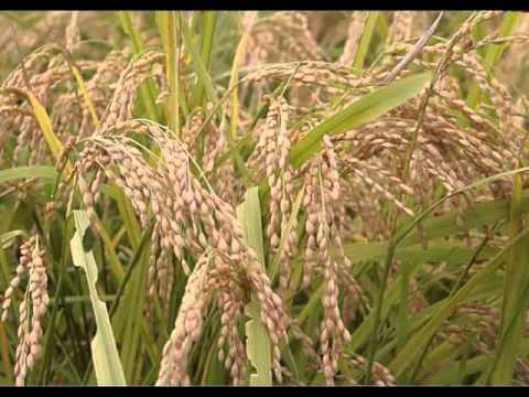 Health Benefits of Rice Bran Oil