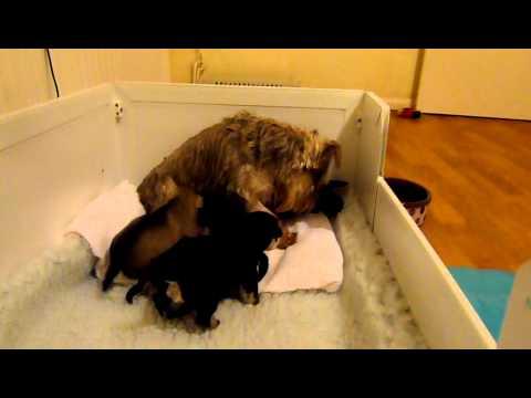 Mini Schnauzer Black & Silver Puppies UK