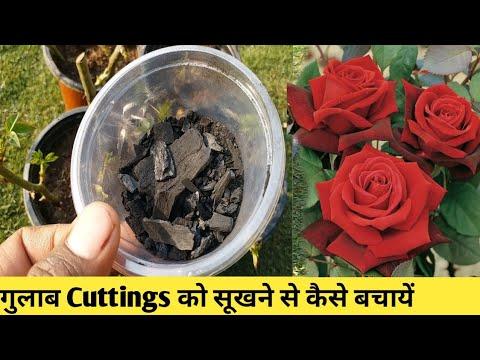 गुलाब के पौधे के लिये अच्छी खाद