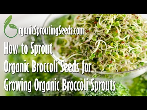 How to Sprout Organic Broccoli Seeds for Growing Organic Broccoli Sprouts