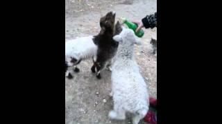 Funny Cat Breast Feeding With Goat @ Cheap