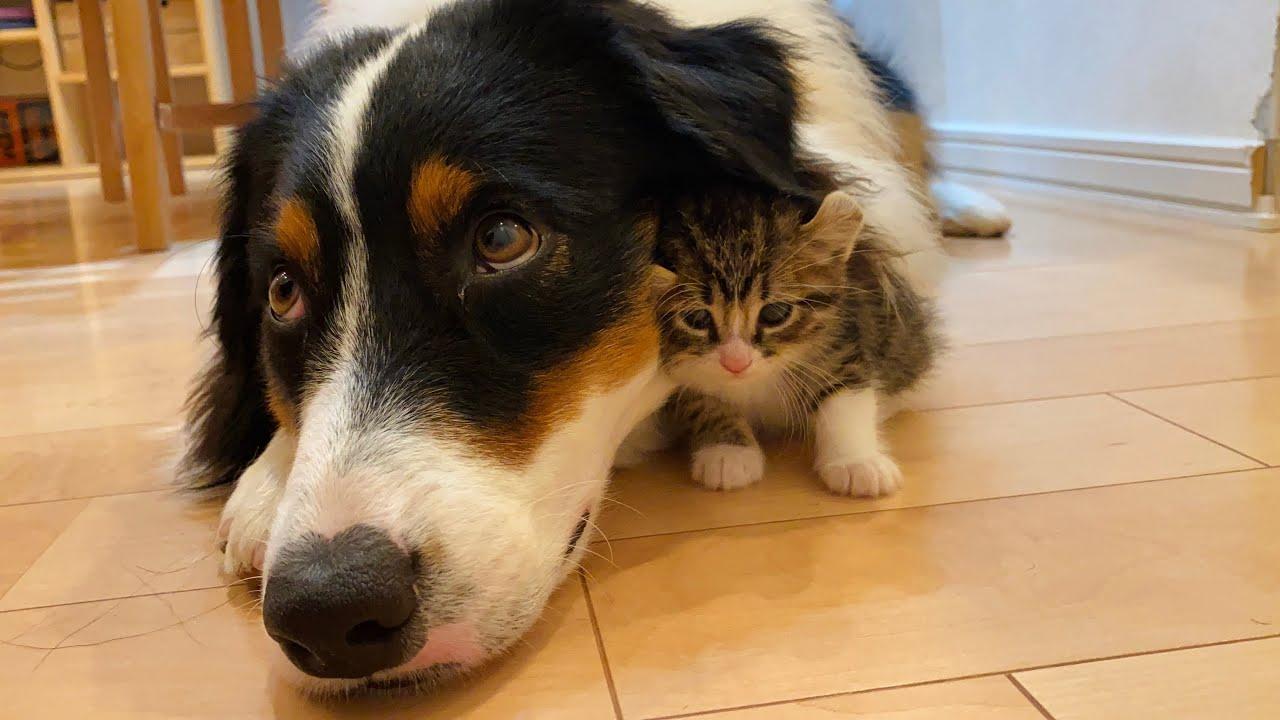 離れない!】絶対に犬とくっついて寝たがる子猫 - YouTube