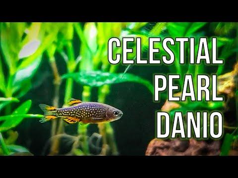Celestial Pearl Danios – Best Nano Fish For Planted Tanks?