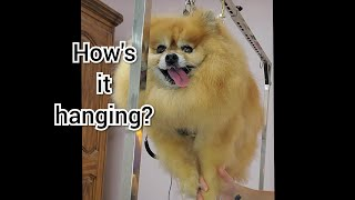 Flying Senior Pomeranian Dog