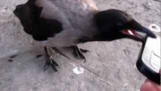 Ворона и мобильник