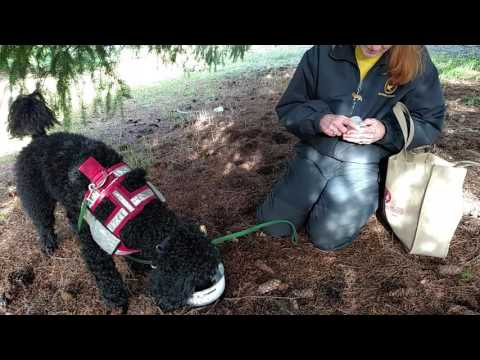 Training A Dog To Dig Truffles