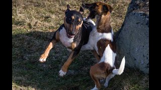 Smooth fox terrier defeats fighting dog