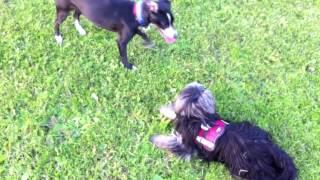 Emma (jack Russell-pointer Mix) Playing With A Stranger Called Gysmo