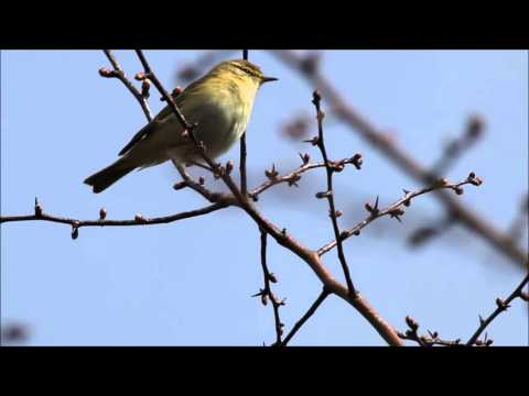 Willow Warbler (Phylloscopus trochilus) song
