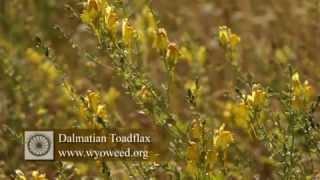 Simpson Dalmatian Toadflax
