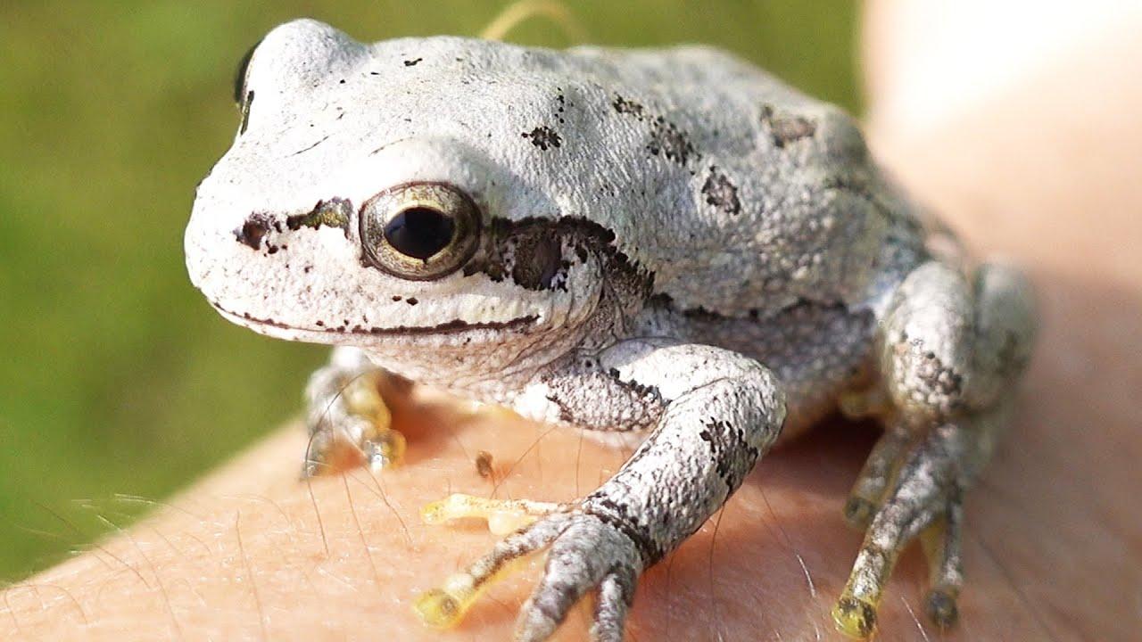 白いアマガエル【カエルの擬態】Japanese tree frog mimicry
