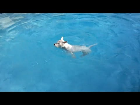 Eager dog desperately wants to jump in the pool